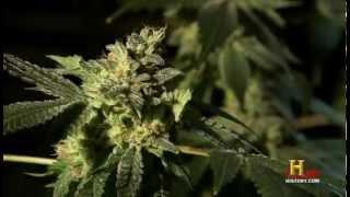 Marihuana Droge oder Medizin?