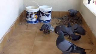 getlinkyoutube.com-Pigeon Life Cycle-Amazing video !