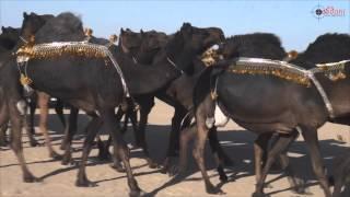 getlinkyoutube.com-مسيرة منقية السيد / سليم بن طالب ال روضه المري في مزاين الكويت 2015