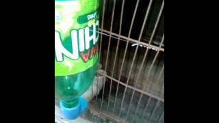getlinkyoutube.com-como fazer um bebedouro automatico caseiro para codornas