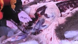 getlinkyoutube.com-冬山におけるエゾシカ猟の実際のすべて 第三回