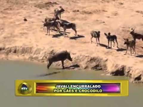 PLANTÃO NOVA TV FRIBURGO RJ JAVALI ENCURRALADO POR CÃES E CROCODILO 15 11 13