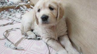 getlinkyoutube.com-英国ゴールデンレトリバー 生後35日 English Golden Retriever Puppies 5weeks Old