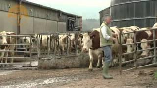 getlinkyoutube.com-Cows jump for joy