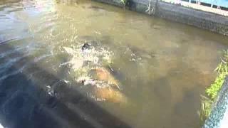 getlinkyoutube.com-アマゾン川のピラルク釣り