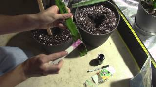 getlinkyoutube.com-How to Grow Dragon Fruit from Cutting!