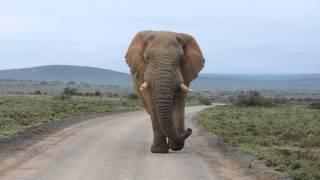getlinkyoutube.com-Big Elephant Bull walking down the road