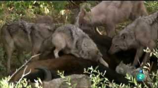 Lobos cazadores de búfalos