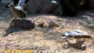 getlinkyoutube.com-Roadrunners kill rattlesnakes [uccide i serpente a sonagli]
