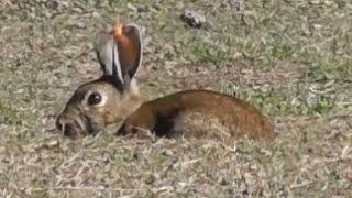 Bowhunting rabbits HEADSHOTS