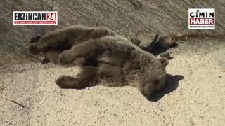 Kamyonun Çarptığı Ayı Yavruları Öldü
