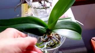 getlinkyoutube.com-Beginner's tips on full water culture method for orchids.