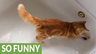getlinkyoutube.com-Cat loses it on catnip toy
