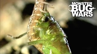 getlinkyoutube.com-Costa Rican Cellar Spider vs Geophilid Centipede | MONSTER BUG WARS