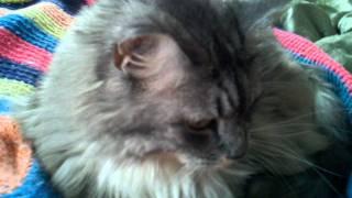 Our youngest feline, Abby...a.k.a. Bedbug!