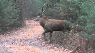 getlinkyoutube.com-Red Stag Bow Hunt at Deep Woods Preserve