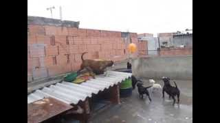getlinkyoutube.com-PITBULL TRAS LA BOMBA 1