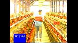 getlinkyoutube.com-Manajemen Ayam Petelur