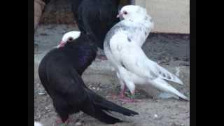 getlinkyoutube.com-Pigeon Breed Mookee Pigeons Various Colors