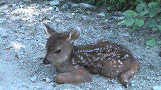 "getlinkyoutube.com-Baby Deer calls Logger ""Mom""."