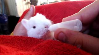 getlinkyoutube.com-Me hand feeding one of our baby bunny rabbits
