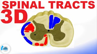 Spinal Pathways/Tracts - Spinal Cord Anatomy