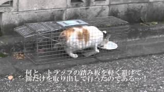 猫一家の母猫、捕獲機の罠を避ける妙技を見せる