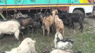 getlinkyoutube.com-Unique Goat Auction - Cebu, Philippines - Give a Goat