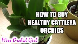 getlinkyoutube.com-How to recognize sick or healthy Cattleya orchids - Tips for buying healthy orchids