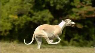 getlinkyoutube.com-Dogs 101 Whippet.mp4