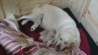 getlinkyoutube.com-Dog Giving Birth - English Cream Golden Retriever