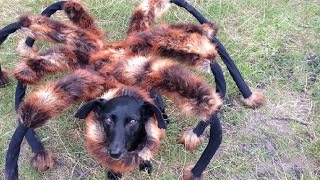 getlinkyoutube.com-Mutant Giant Spider Dog (SA Wardega)
