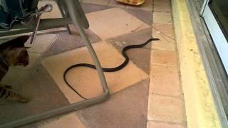 getlinkyoutube.com-Savannah cat vs. snake