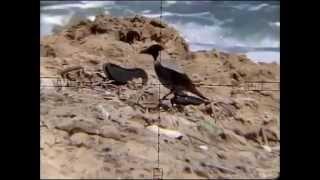 crow hunting 16. neww 20 crow shots 01-04-2013 pest control