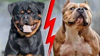getlinkyoutube.com-تربية كلاب الروت فيلر و الامريكان بولي مع sam william !!!!