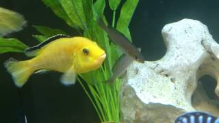 getlinkyoutube.com-about mouth brooding African Cichlids