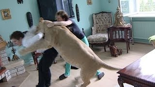 getlinkyoutube.com-Lion attacks man at home