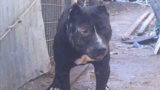getlinkyoutube.com-كلاب في ام الفحم