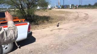 getlinkyoutube.com-Roadrunner vs Rattlesnake