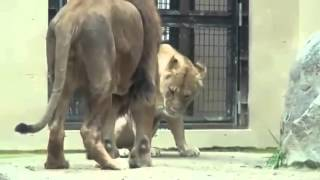 Animal Sex Lion Mating   Reproduction At Zoo