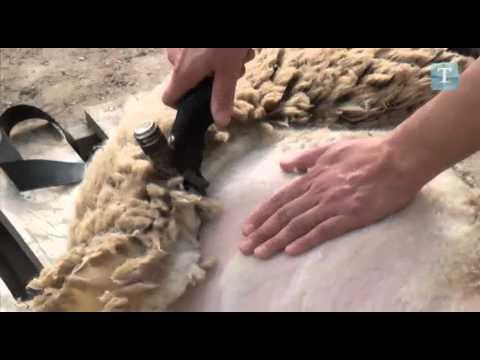 El reto de Rivas - Esquilando ovejas