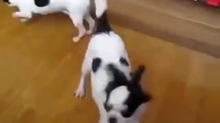 getlinkyoutube.com-Hunde Paarung