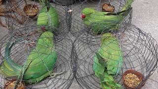 Parrot Video 2017