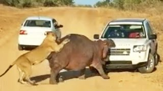 getlinkyoutube.com-Hippo Bites Land Rover As Lions Attack