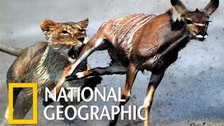 getlinkyoutube.com-National Geographic Documentary  -   Lions   Ruthless   - Nat Geo wild