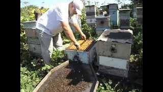 как делать вырезку маточников в семье пчел