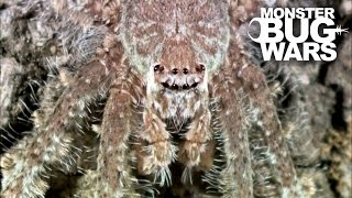 getlinkyoutube.com-Grey Tree Runner Mantis Vs Lichen Huntsman Spider | MONSTER BUG WARS