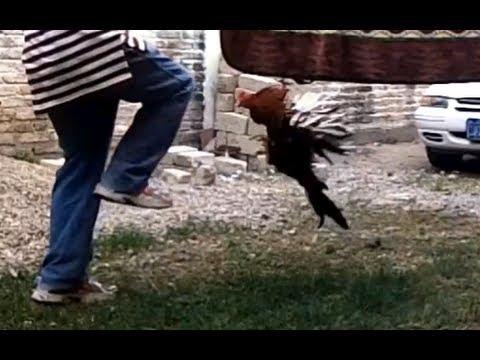 Gallo Atacando un idiota.