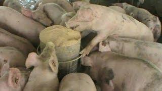 getlinkyoutube.com-Thailand Pig Farm, Small scale factory farm in rural Thailand.