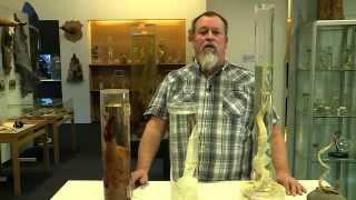 getlinkyoutube.com-The Icelandic Phallological Museum